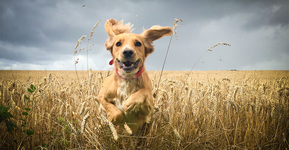 dog running through wheat