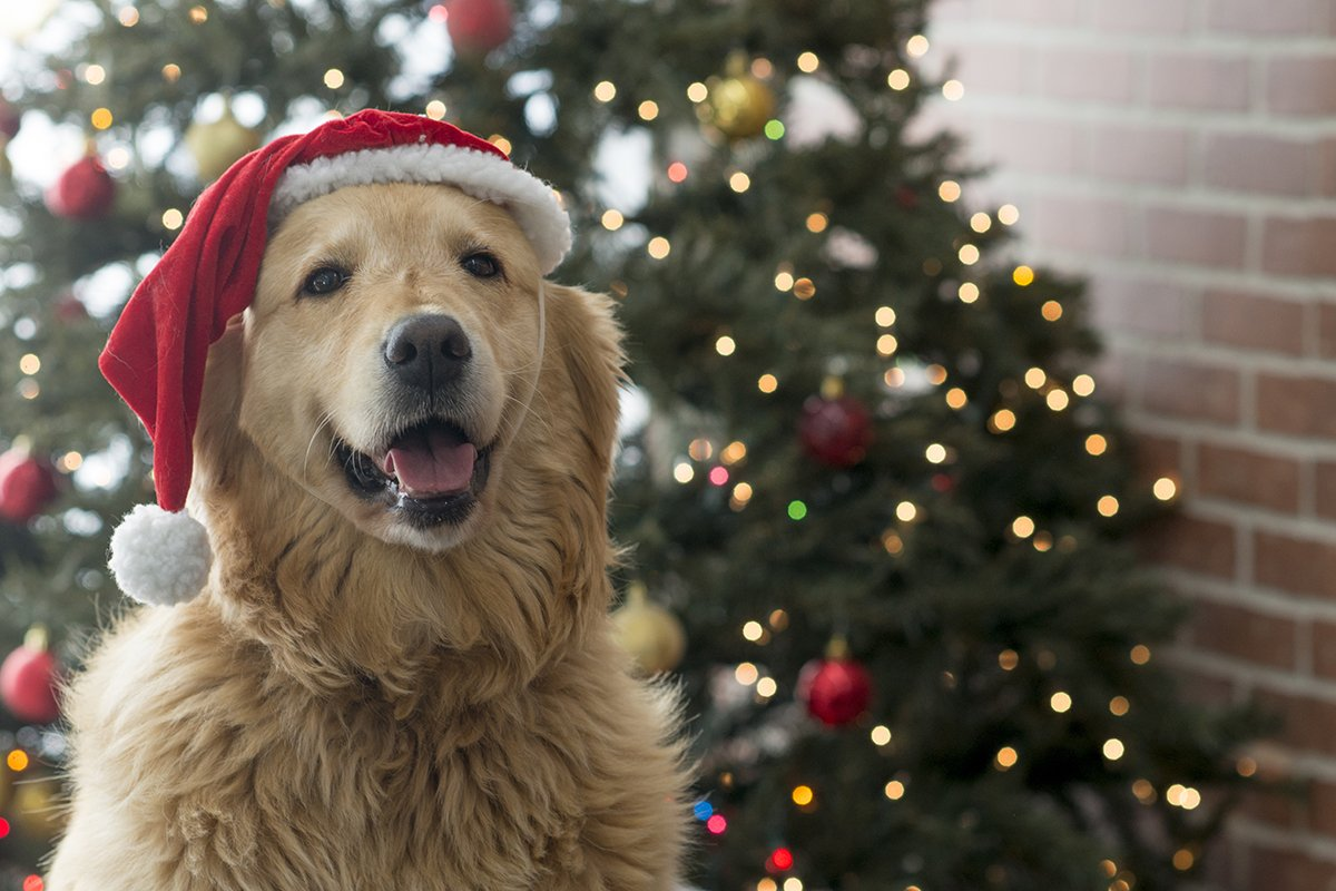 dog wearing holiday hat