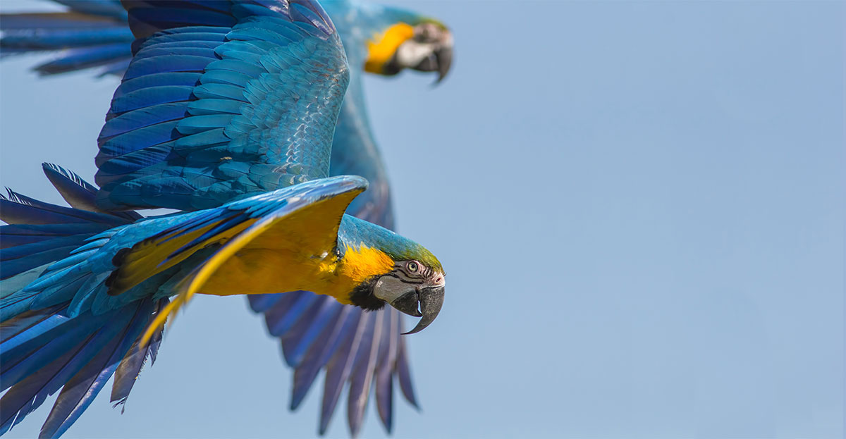 parrots flying